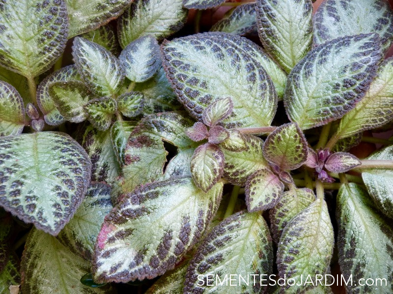Sementes de Planta Tapete - Episcia Cupreata